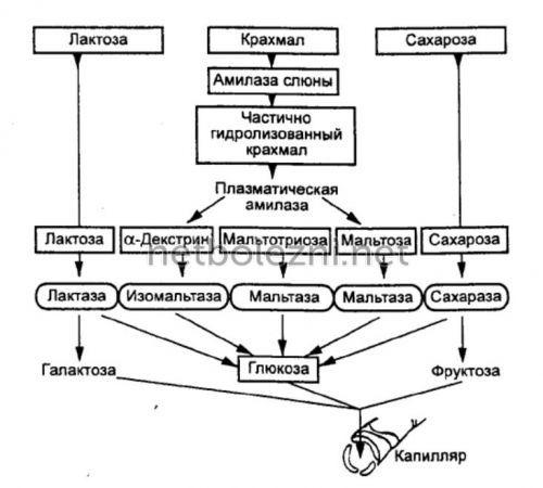 Процесс всасывания глюкозы