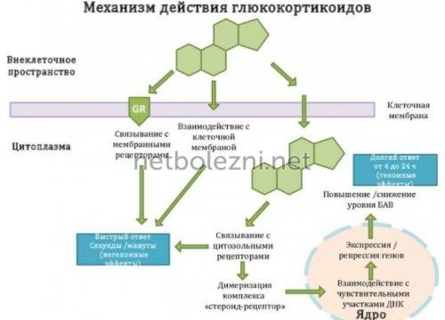 Механизм действия гормональной мази